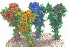 Proteine S (Spike) del SARS-CoV-2